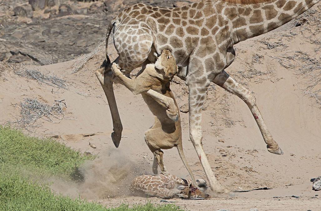 Giraffe versus Lion