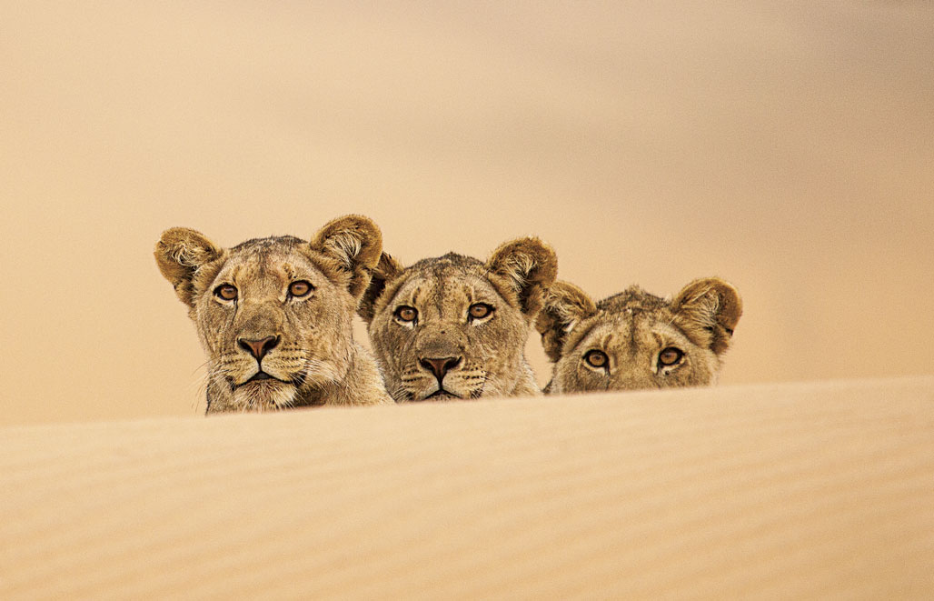 Vanishing kings book lions of the namib desert fandeluxe Choice Image